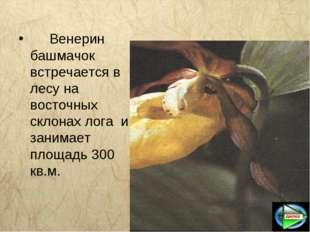 Венерин башмачок встречается в лесу на восточных склонах лога и занимает пл