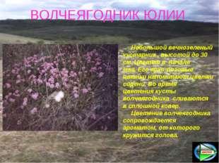 ВОЛЧЕЯГОДНИК ЮЛИИ Небольшой вечнозеленый кустарник , высотой до 30 см. Цвете