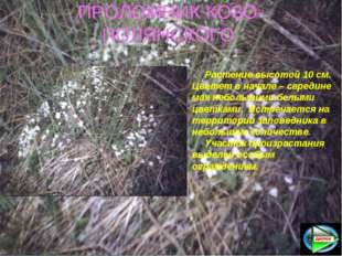 ПРОЛОМНИК КОЗО-ПОЛЯНСКОГО Растение высотой 10 см. Цветет в начале – середине
