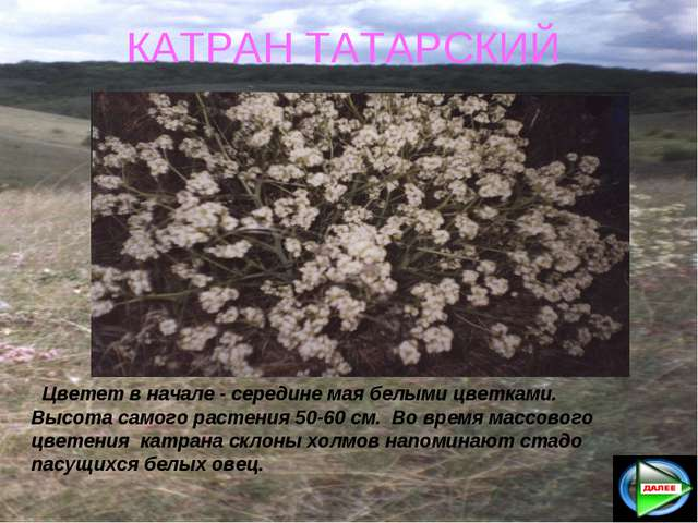 КАТРАН ТАТАРСКИЙ Цветет в начале - середине мая белыми цветками. Высота самог...