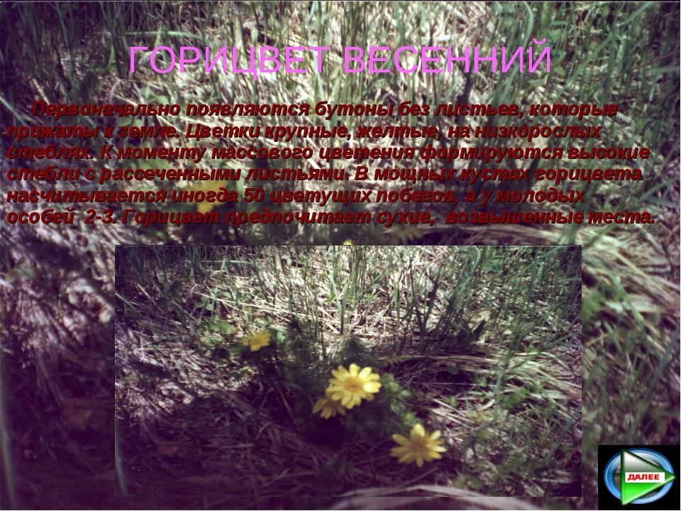 ГОРИЦВЕТ ВЕСЕННИЙ Первоначально появляются бутоны без листьев, которые прижа...