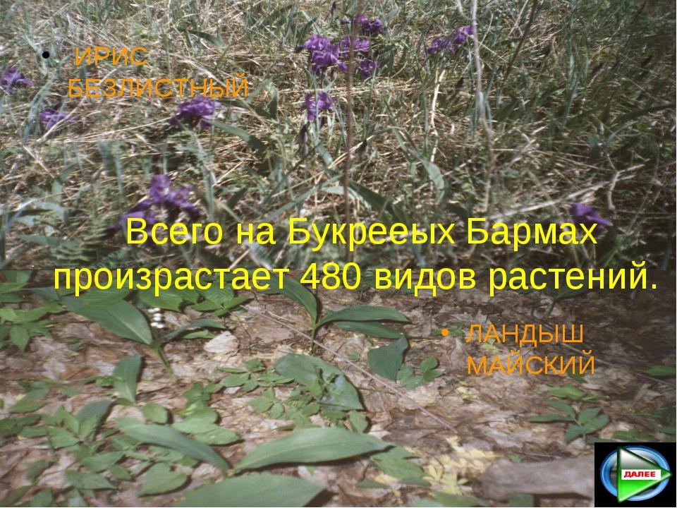 Всего на Букрееых Бармах произрастает 480 видов растений. ИРИС БЕЗЛИСТНЫЙ ЛАН...