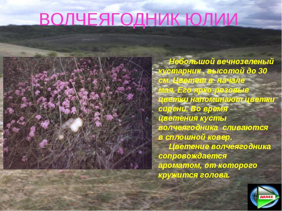 ВОЛЧЕЯГОДНИК ЮЛИИ Небольшой вечнозеленый кустарник , высотой до 30 см. Цвете...