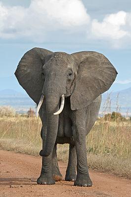 http://upload.wikimedia.org/wikipedia/commons/thumb/3/37/African_Bush_Elephant.jpg/265px-African_Bush_Elephant.jpg