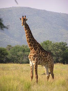 http://upload.wikimedia.org/wikipedia/commons/thumb/9/9f/Giraffe_standing.jpg/265px-Giraffe_standing.jpg
