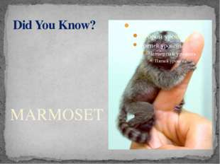 Did You Know? MARMOSET