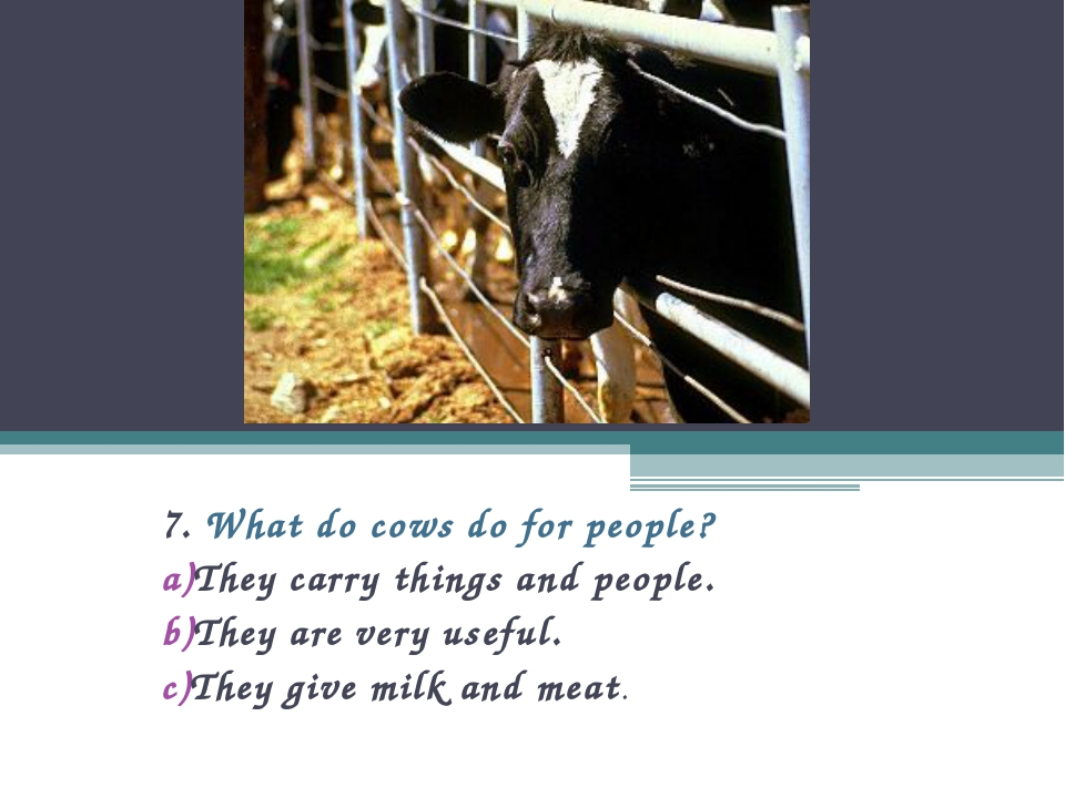 7. What do cows do for people? They carry things and people. They are very us...
