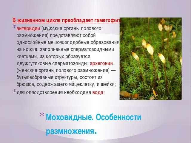 Моховидные. Особенности размножения. В жизненном цикле преобладает гаметофит,...