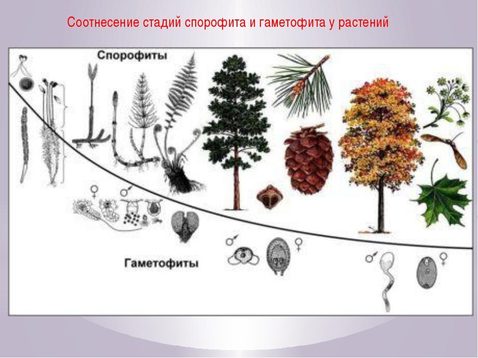 Соотнесение стадий спорофита и гаметофита у растений