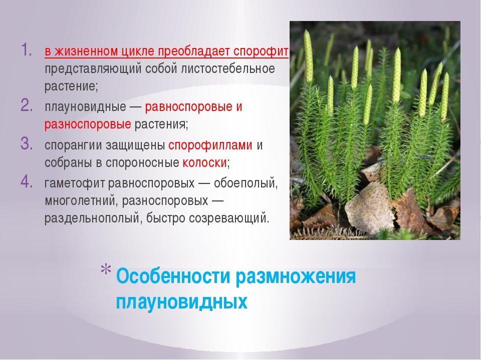 Особенности размножения плауновидных в жизненном цикле преобладает спорофит,...