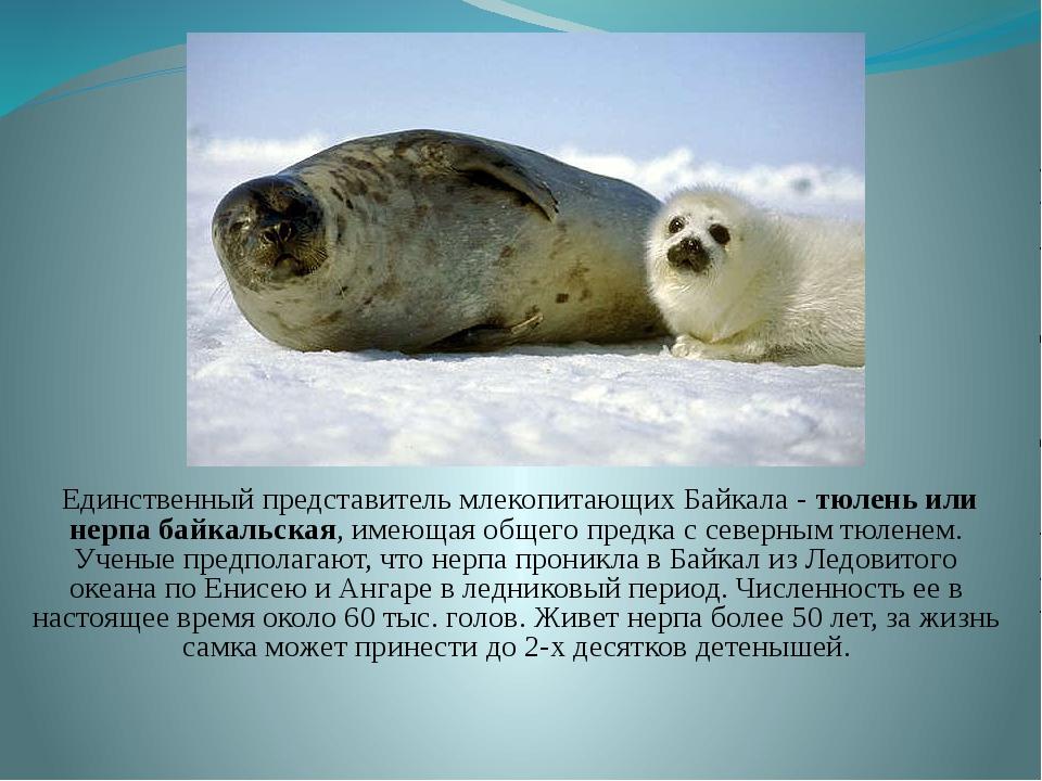 Единственный представитель млекопитающих Байкала - тюлень или нерпа байкальс...