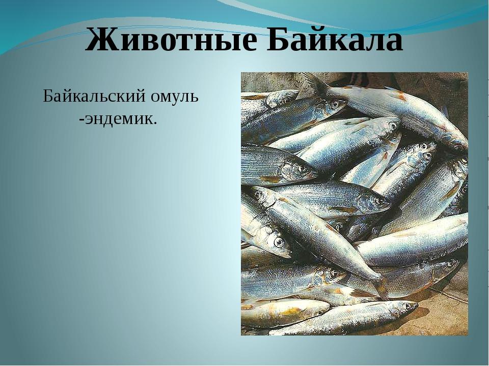 Животные Байкала Байкальский омуль -эндемик.