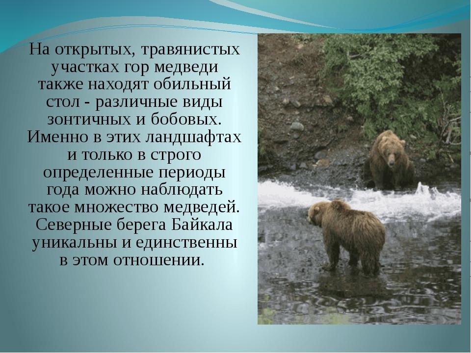 На открытых, травянистых участках гор медведи также находят обильный стол -...