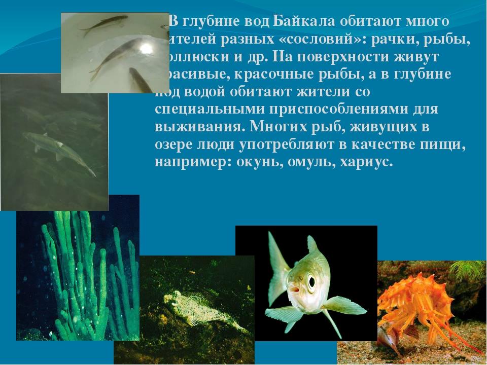 В глубине вод Байкала обитают много жителей разных «сословий»: рачки, рыбы,...