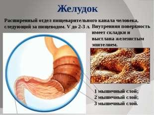 Желудок 1 мышечный слой; 2 мышечный слой; 3 мышечный слой. Расширенный отдел