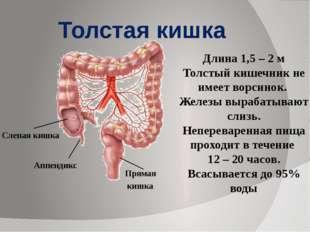Длина 1,5 – 2 м Толстый кишечник не имеет ворсинок. Железы вырабатывают слизь