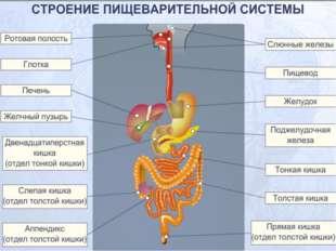 Бактерии толстого кишечника бактерии образуют некоторые витамины, но под дейс