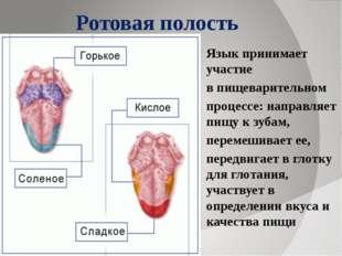 Ротовая полость Язык принимает участие в пищеварительном процессе: направляет