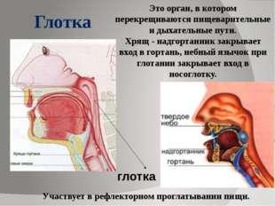 Это орган, в котором перекрещиваются пищеварительные и дыхательные пути. Хря