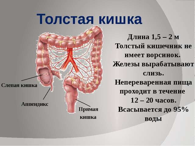 Длина 1,5 – 2 м Толстый кишечник не имеет ворсинок. Железы вырабатывают слизь...