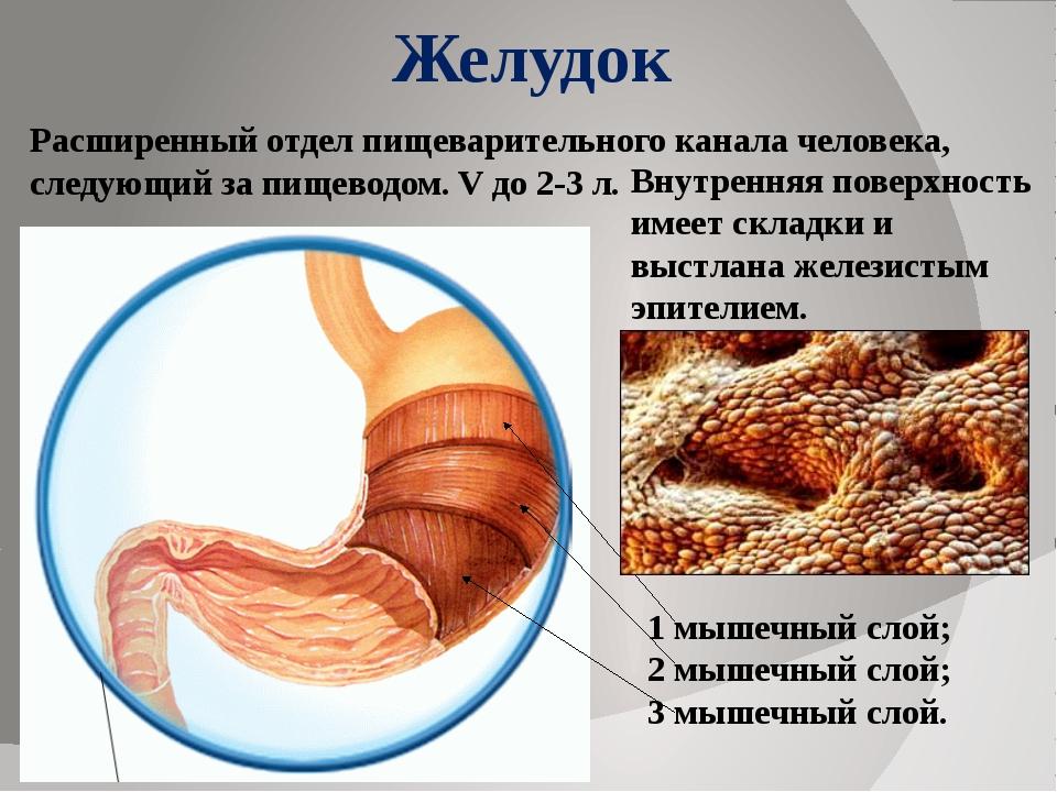Желудок 1 мышечный слой; 2 мышечный слой; 3 мышечный слой. Расширенный отдел...
