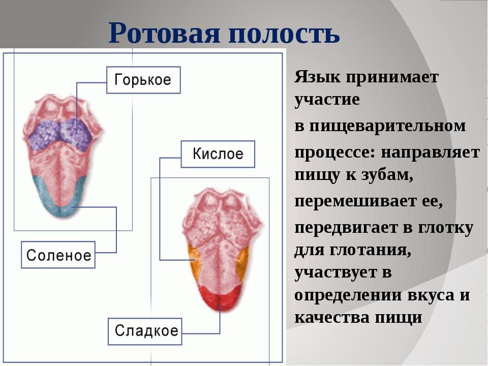 Ротовая полость Язык принимает участие в пищеварительном процессе: направляет...
