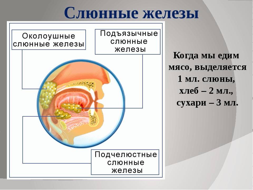 Слюнные железы Когда мы едим мясо, выделяется 1 мл. слюны, хлеб – 2 мл., суха...