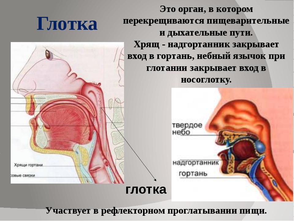 Это орган, в котором перекрещиваются пищеварительные и дыхательные пути. Хря...