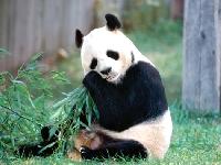 Panda eating lunch