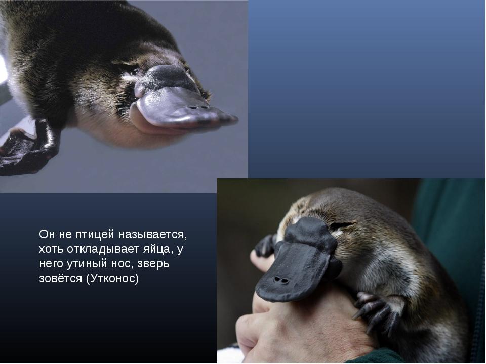 Он не птицей называется, хоть откладывает яйца, у него утиный нос, зверь зовё...
