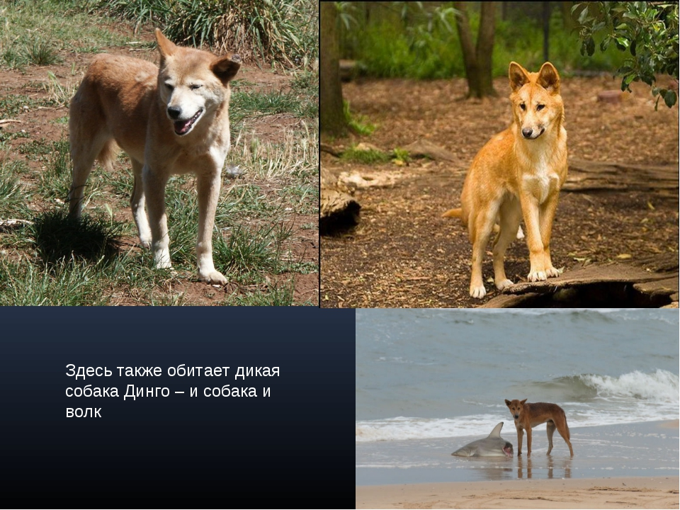Здесь также обитает дикая собака Динго – и собака и волк