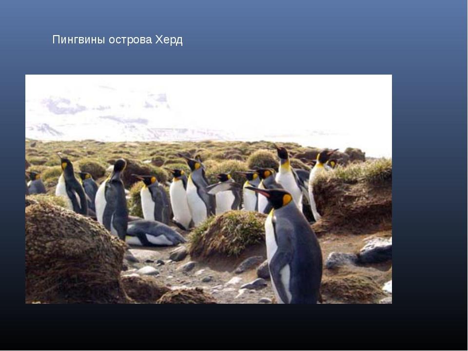Пингвины острова Херд