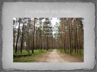 Сосновый лес (бор)