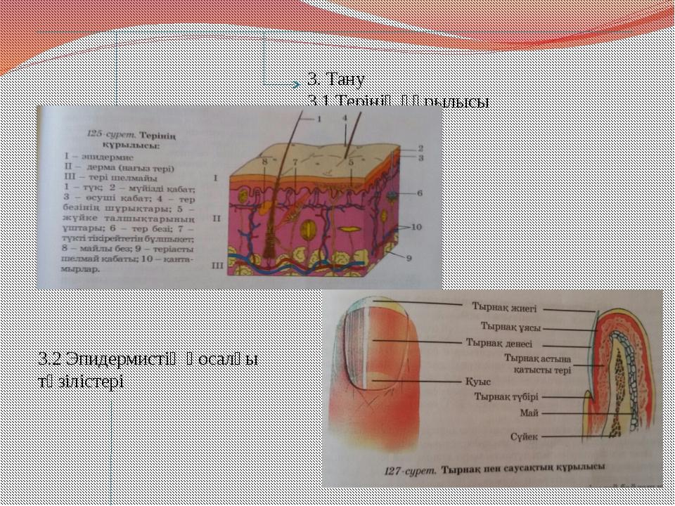 3. Тану 3.1 Терінің құрылысы 3.2 Эпидермистің қосалқы түзілістері