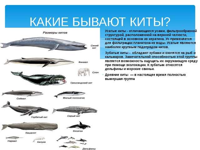 Усатые киты - отличающиеся усами, фильтрообразной структурой, расположенной н...