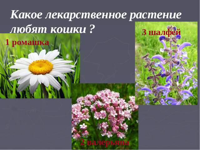 Какое лекарственное растение любят кошки ? 1 ромашка 2 валерьяна 3 шалфей