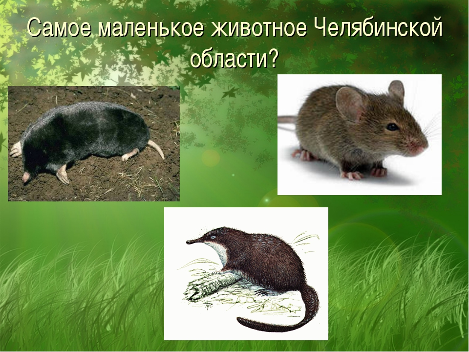 Самое маленькое животное Челябинской области?