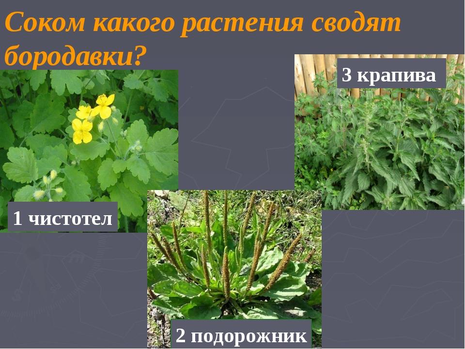 Соком какого растения сводят бородавки? 1 чистотел 2 подорожник 3 крапива