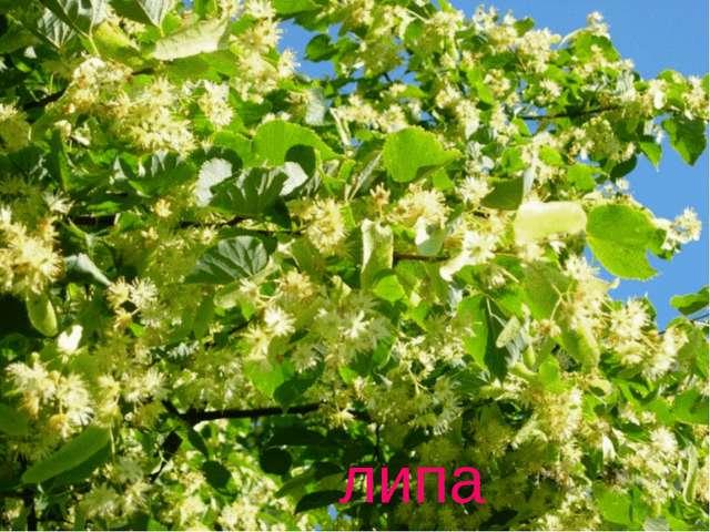 Весной растет, летом цветёт, Цветок – на медок, Лечит от гриппа, Кашля и хрип...