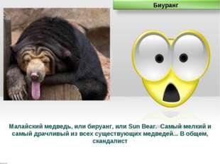 Малайский медведь, или бируанг, или Sun Bear. Самый мелкий и самый драчливый