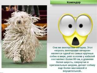 Она же венгерская овчарка. Этот «король венгерских овчарок» является одной и