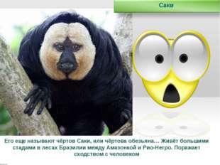 Его еще называют чёртов Саки, или чёртова обезьяна… Живёт большими стадами в