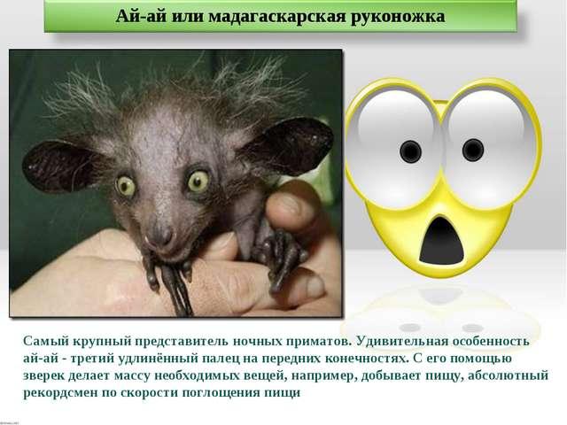 Самый крупный представитель ночных приматов. Удивительная особенность ай-ай -...