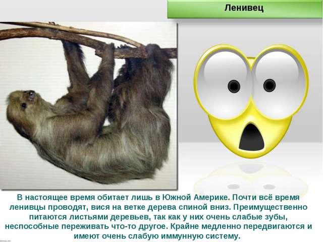 В настоящее время обитает лишь в Южной Америке. Почти всё время ленивцы прово...