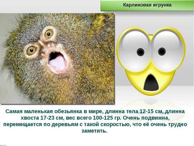 Самая маленькая обезьянка в мире, длинна тела 12-15 см, длинна хвоста 17-23 с...