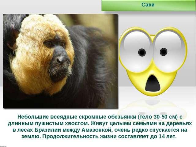 Небольшие всеядные скромные обезьянки (тело 30-50 см) с длинным пушистым хвос...