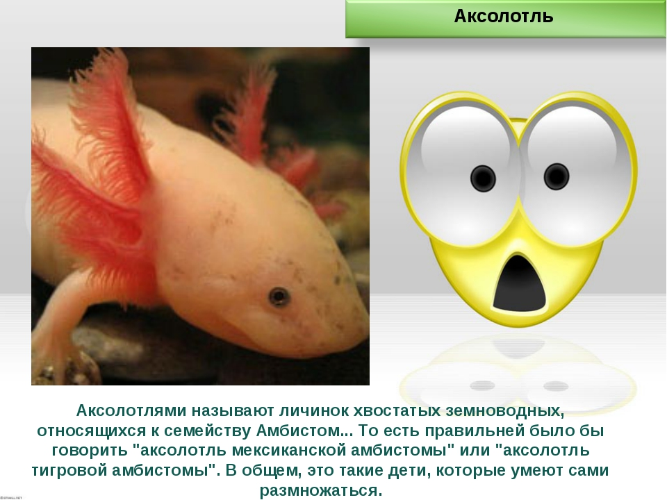 Аксолотлями называют личинок хвостатых земноводных, относящихся к семейству А...