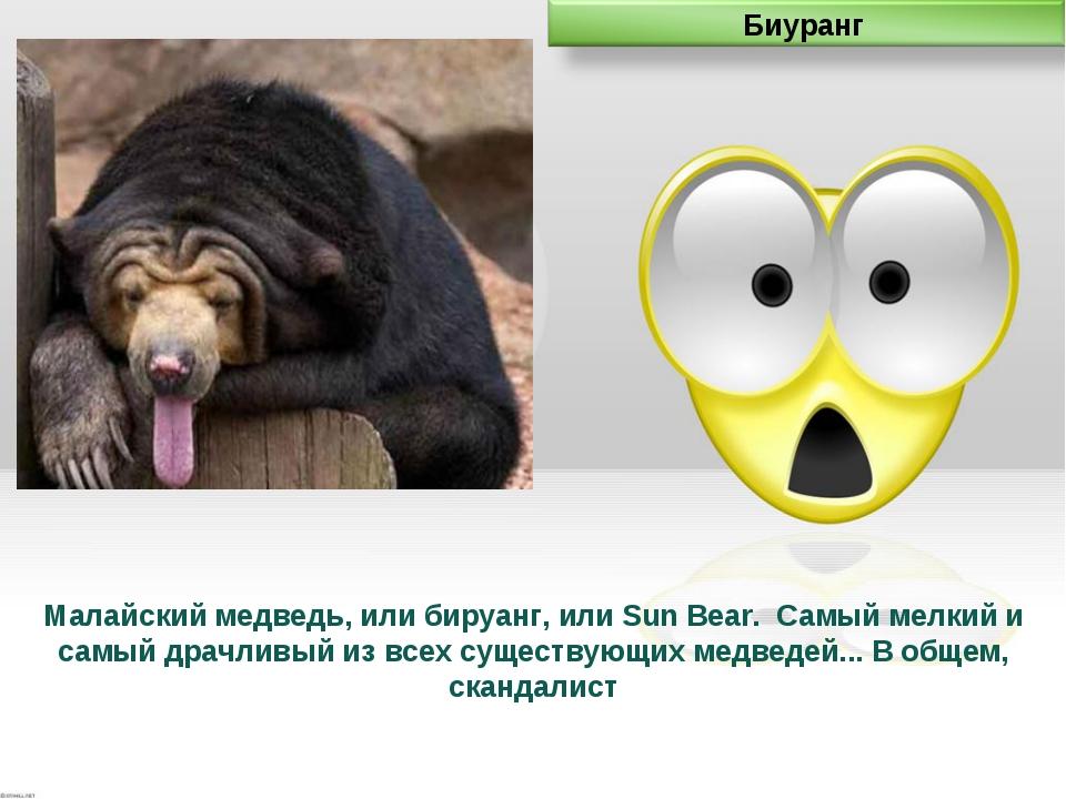Малайский медведь, или бируанг, или Sun Bear. Самый мелкий и самый драчливый...