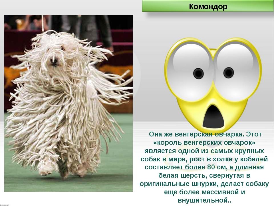 Она же венгерская овчарка. Этот «король венгерских овчарок» является одной и...