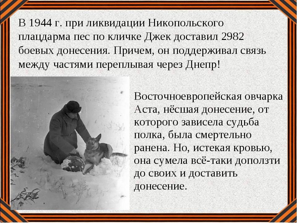 Восточноевропейская овчарка Аста, нёсшая донесение, от которого зависела судь...